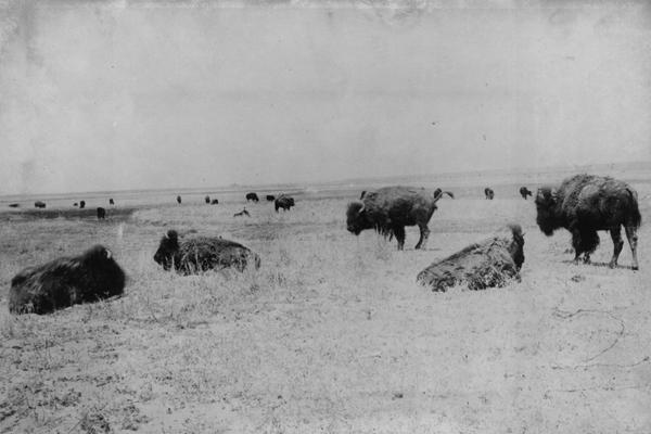 buffalo-jones-buffalo-herd