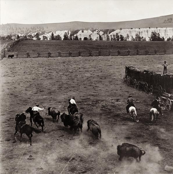 N.A. Forsyth captured the center horse being chased by a mad bull during the 1909 roundup in Butte, Montana. He and artist Charles M. Russell both witnessed Michel Pablo's Great Buffalo Roundup firsthand.– All images courtesy Library of Congress –