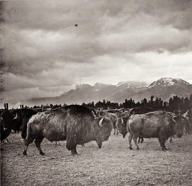 "Photographer N.A. Forsyth titled this 1909 shot of buffalo in Butte, Montana, ""A fine pair in the world's finest buffalo herd."""
