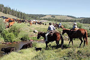 guest_ranch_klondike_buffalo_wyoming_working-cattle