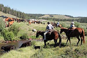 guest_ranch_klondike_buffalo_wyoming_working-cattle