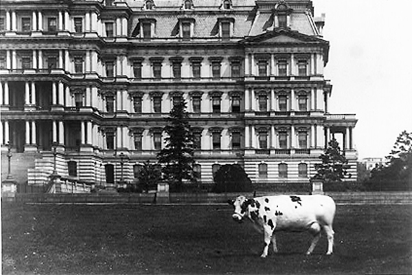 pauline-the-cow-blog