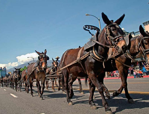 WR_Leads_Bishop-Mule-Days-Celebration–