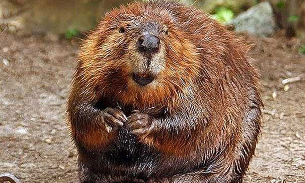 Beaver-blog