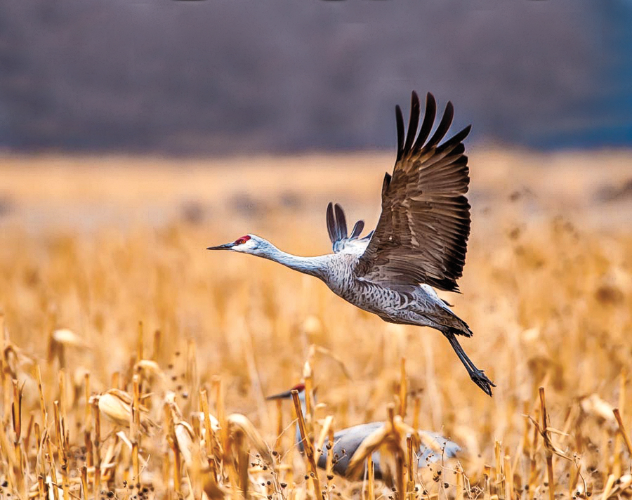 Kearney's 47th Annual Audubon Crane Festival will be held March 16-19, 2017, in celebration of the migration of the half-million sandhill cranes who nest along the Platte River every spring. – Courtesy Kearney CVB –