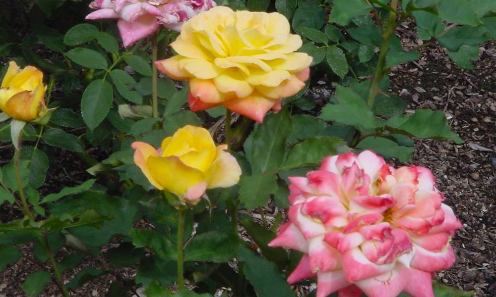 sharlot-hall-roses