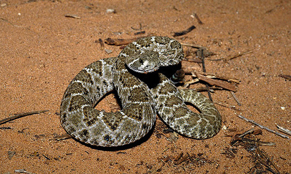 Rattlesnake-Bill