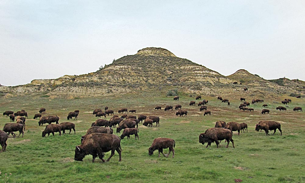 When Theodore Roosevelt arrived in the Dakota Territory, most buffalo herds were quickly disappearing. As President, Roosevelt was involved in bringing back bison from near extinction. Today, 600 of the shaggy beasts call the North and South Units of the park home. – Michael F. Blake –